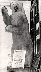 Koettlitz Polar Bear. Dover Museum