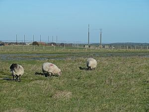 Sheep grazed Swingate Down throughout the War and they still graze there. AS 2015