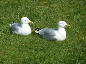 Pencester Gardens - a pair of herring gulls of which there are many. Alan Sencicle